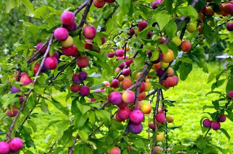 Какие плодовые культуры можно высаживать на даче, чтобы укрепить склоны