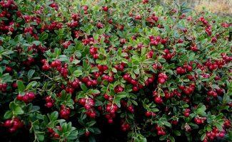 7 растений 2-в-1, которые укрепляют склоны и отлично плодоносят