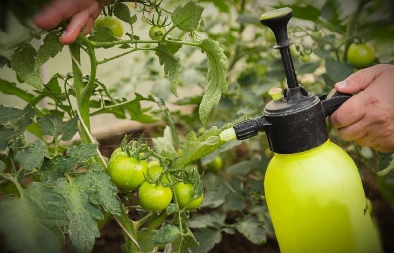 Улучшаем вкус томатов и лечим от фитофтороза: 3 способа использования поваренной соли