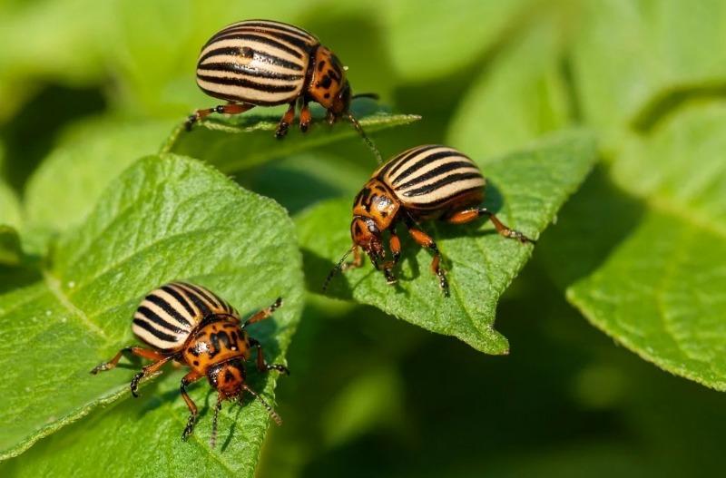 6 причин, почему не получается уничтожить колорадского жука