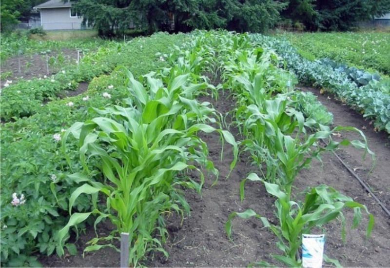 По совету деда я стала сажать кукурузу среди картофеля и не могу нарадоваться