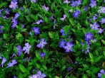 11 почвопокровных растений для альпийской горки, которые будут радовать не один год