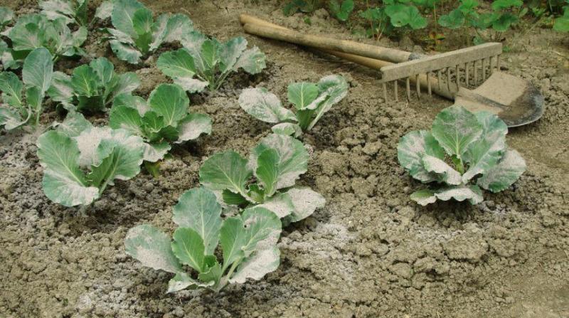 Оставляем прожорливых слизней без обеда: 11 способов борьбы с вредителями на капусте