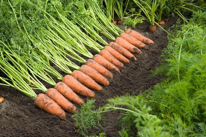 7 урожайных сортов моркови