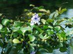 7 растений, которые быстро сделают воду в пруду прозрачной