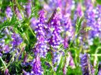 7 растений, которые раскисляют почву не хуже золы