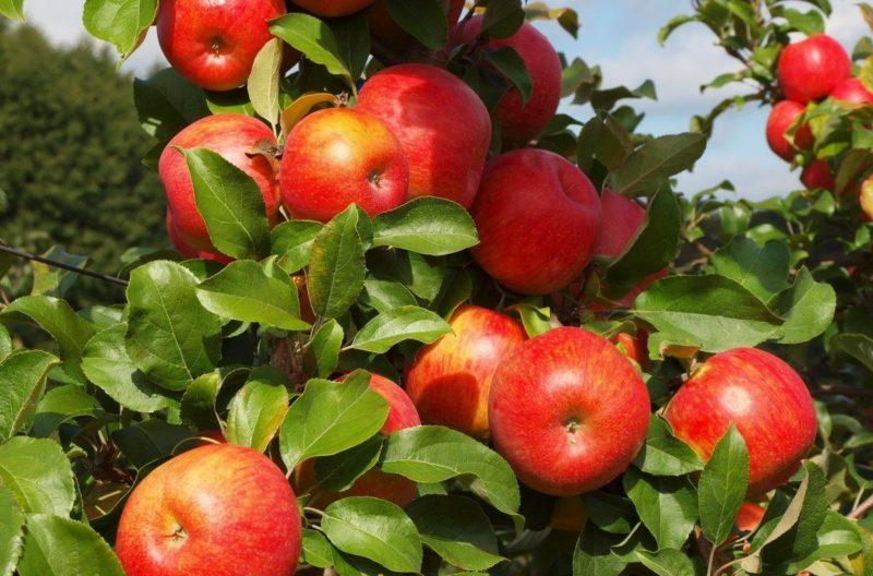Подкармливаю и поливаю яблоню по методу бабушки, теперь ветки гнутся от урожая