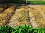 7 способов посадки картофеля, о которых вы могли не знать