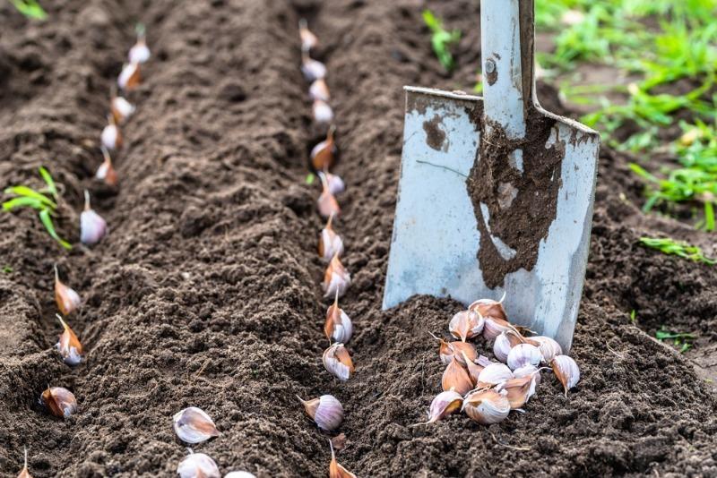 7 причин, из-за которых у чеснока могут пожелтеть кончики листьев