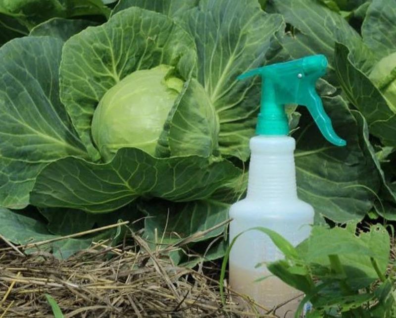 Как использовать обычную валерьянку против вредителей капусты