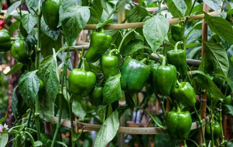 7 хороших и 3 плохих соседа для перца, от которых зависит его урожай
