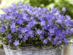 9 ампельных однолетников, которые цветут большой пушистой «шапкой»