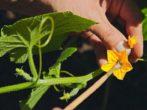 9 тонкостей выращивания отличного урожая огурцов