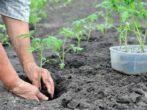 На каком расстоянии друг от друга высадить томаты, чтобы урожай был небывалым