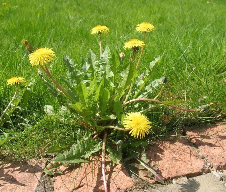 5 случаев, когда сорняки приносят больше пользы, чем вреда