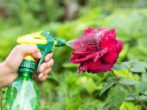 10 способов избавиться от тли, которая атакует любимые розы