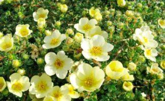 7 неприхотливых кустарников, которые красиво цветут все лето