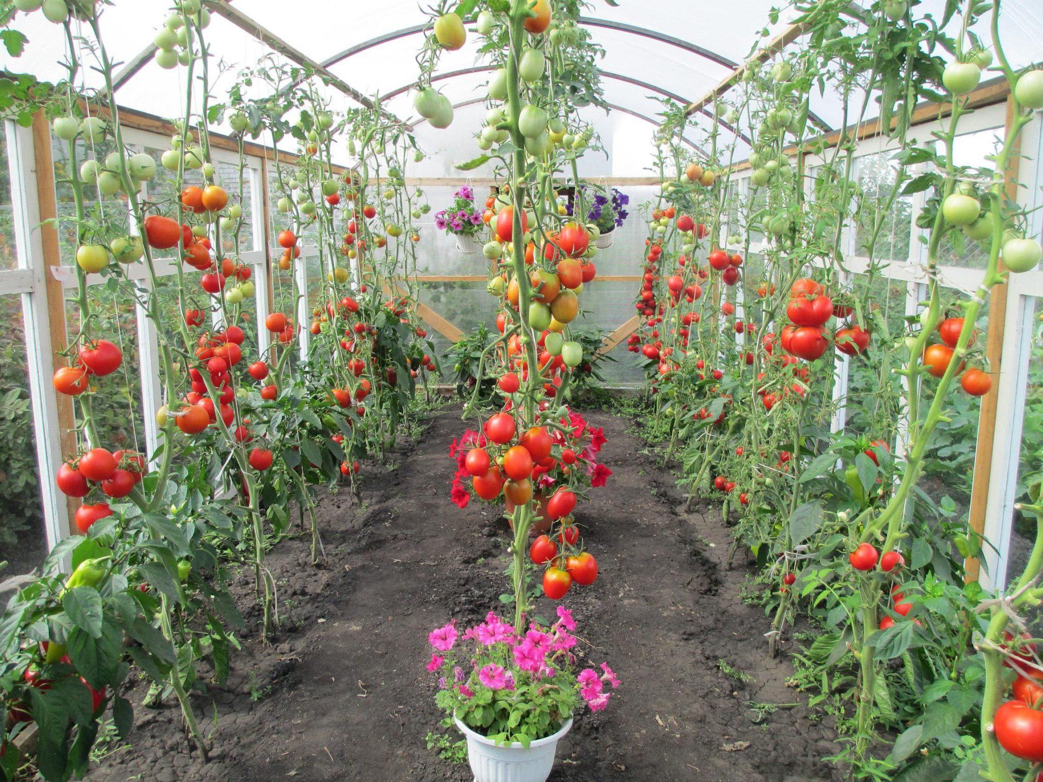 фото грядок помидоров перцев удалось достичь вершин