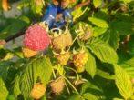 7 главных условий рекордного урожая ремонтантной малины