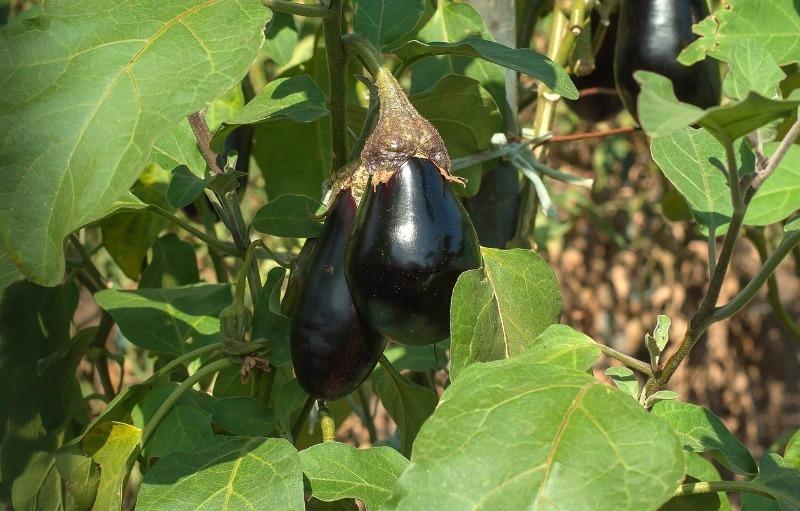 5 ошибок во время выращивания баклажанов, которые лишают дачника урожая