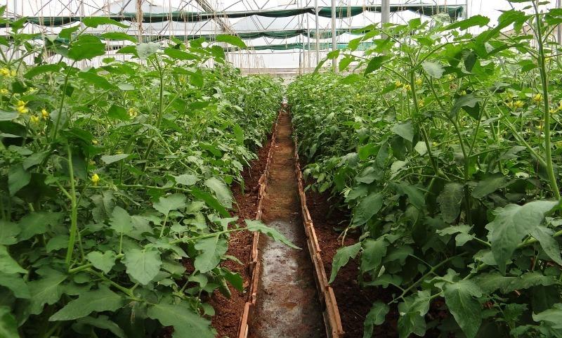5 правил ухода за томатами после высадки в теплицу для крупного урожая