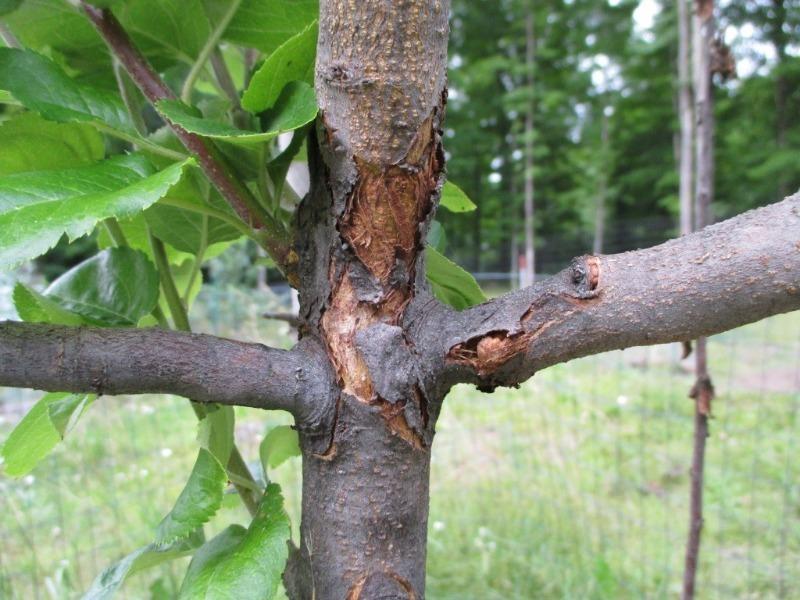 Почему трескается кора у вишни и как с этим бороться