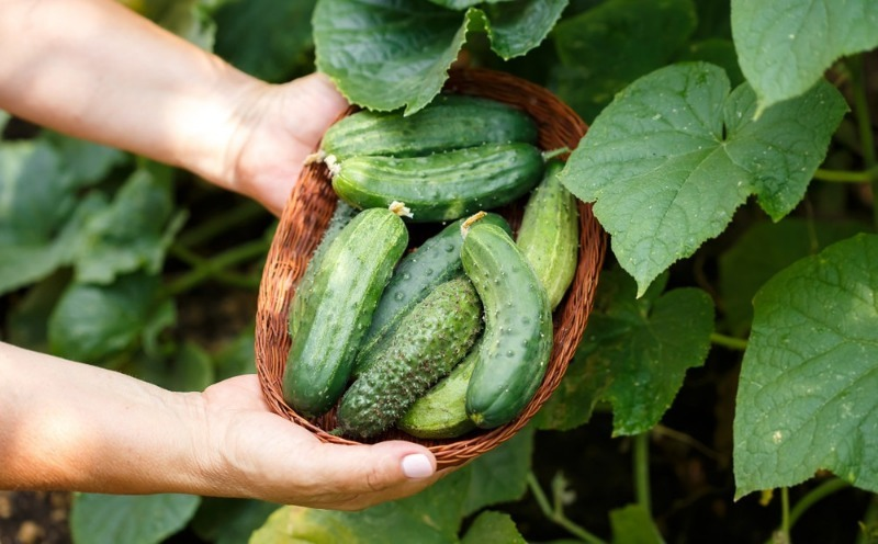 5 примет про выращивание огурцов, в которые верят многие дачники