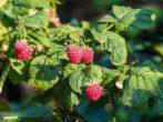 5 ошибок садовода, из-за которых ягоды малины мельчают