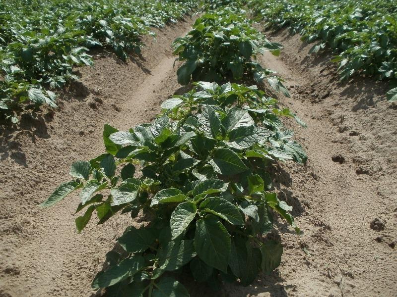 Как собрать картофель в июле: 6 тонкостей раннего урожая