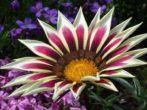 9 цветов, которые похожи на ромашки