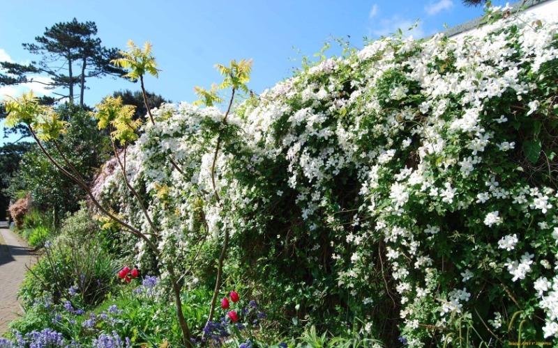 9 красивых вьющихся растений, которыми можно скрыть хозяйственные постройки