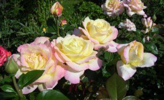 8 красивых сортов крупных роз клаймберов