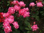 Как продлить пышное цветение роз