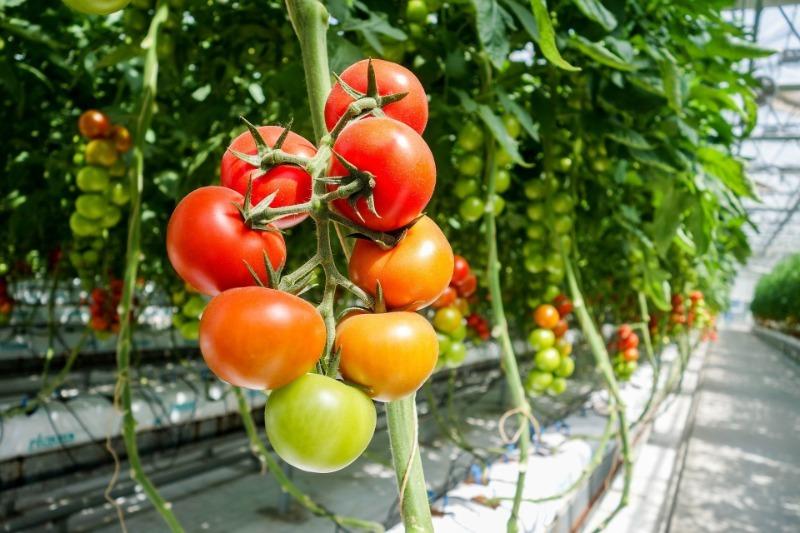 7 способов ускорить покраснение помидоров прямо на кустах