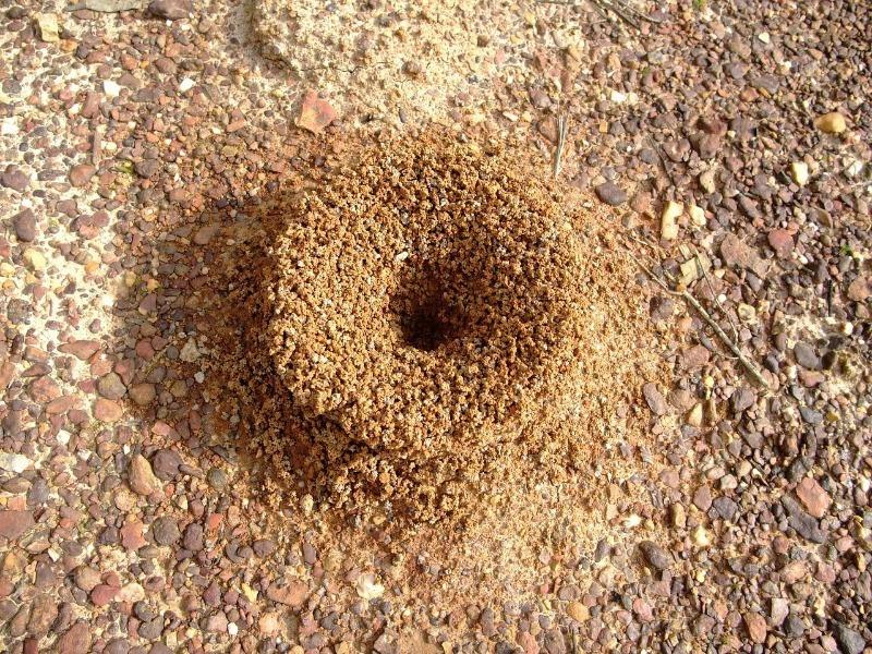 Как легко избавиться от муравейника на участке