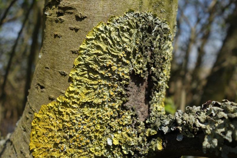Как быстро избавиться от мха и лишайника на плодовых деревьях