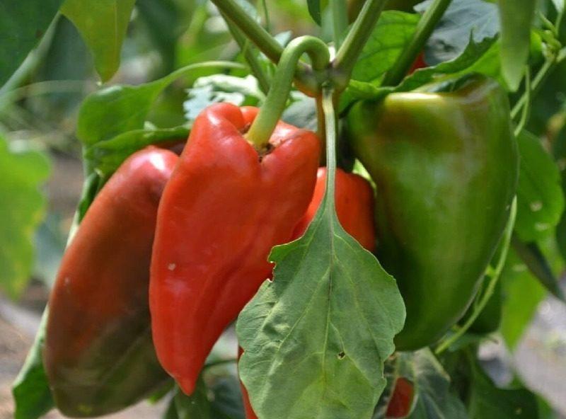 5 ошибок дачника во время плодоношения перцев, которые могут стоить урожая