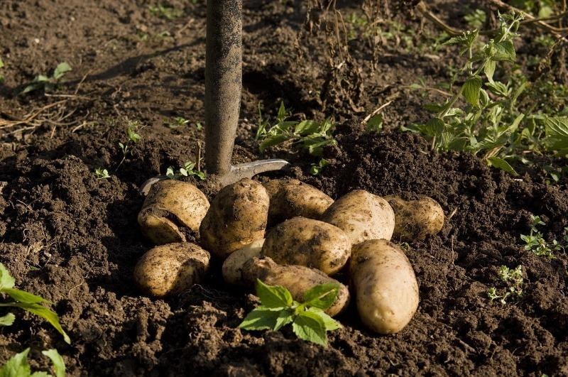 Как правильно выкопать картофель и сохранить урожай до весны