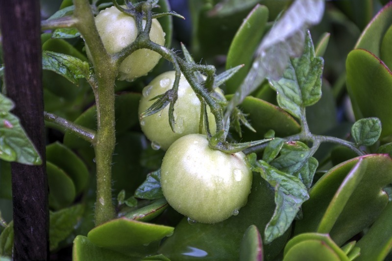 4 особенности ухода за томатами в августе