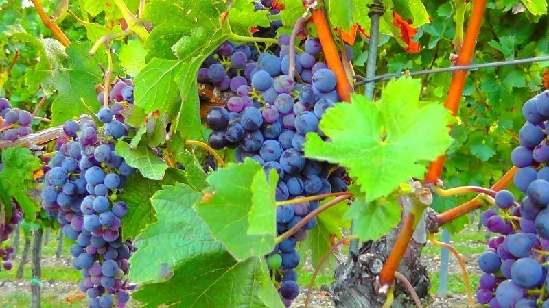 Почему ягоды винограда засыхают прямо на кустах