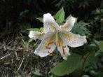 6 вещей, которые не переносят лилии