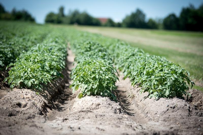 5 ошибок выращивания картофеля, из-за которых урожай с каждым годом все хуже