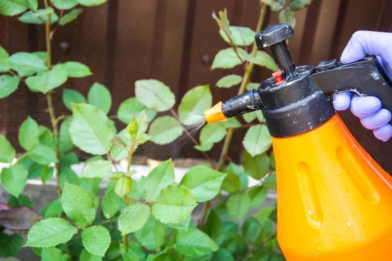 На листьях роз появились черные пятна – с помощью крапивы избавилась от них