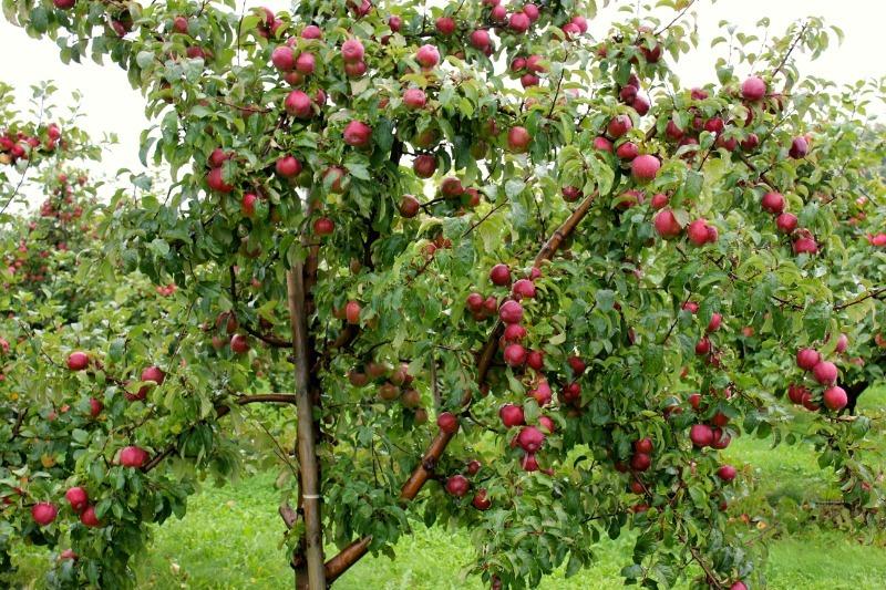 Как я легко вылечила трещины на стволе яблони
