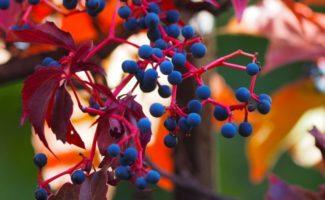 5 выносливых растений для вертикального озеленения