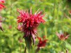 9 растений, которые защитят вас от нашествия комаров на даче