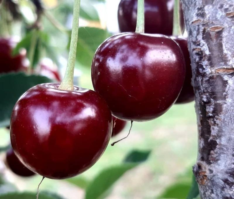 5 гибридов плодовых деревьев, которые даже вкуснее своих «родителей»