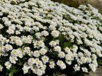 Какие растения подойдут для белой солнечной клумбы