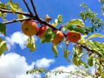 Почему чернеют яблоки на дереве: причины и методы борьбы