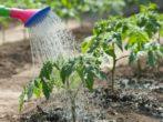 7 причин появления вершинной гнили на помидорах